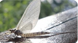 Photo of White Drake Mayfly