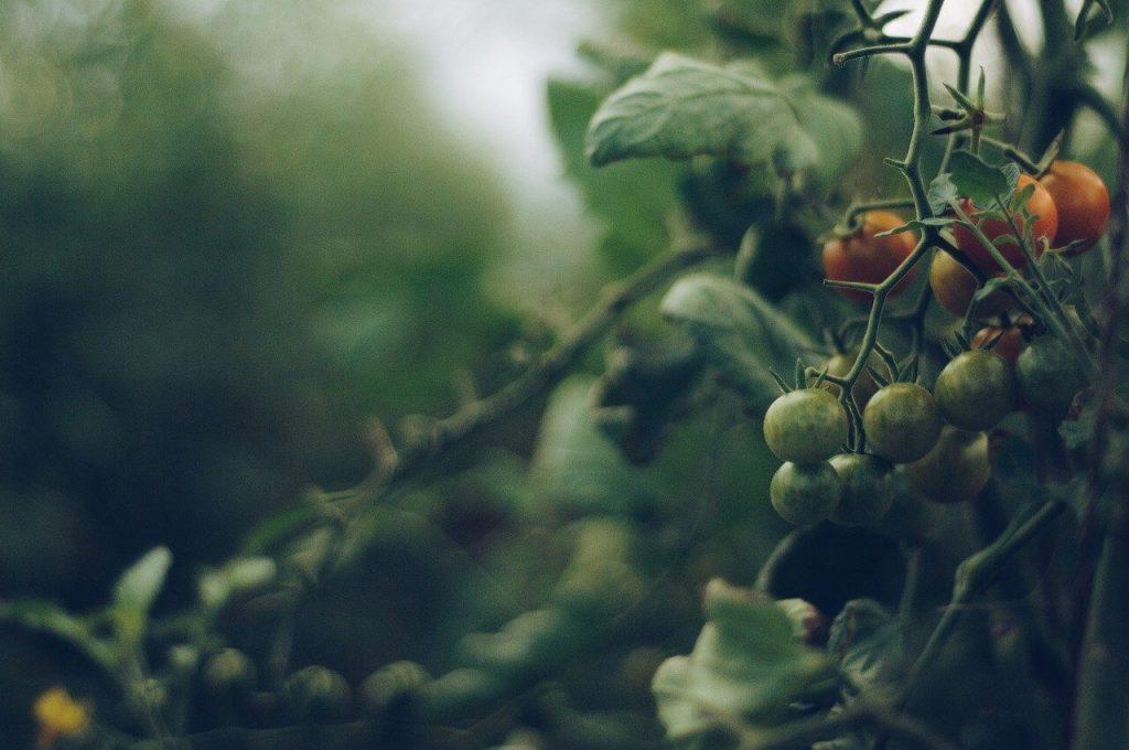 Vigne de tomates