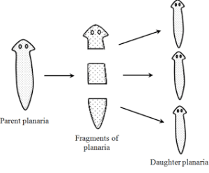 Fragmentation | Class 10, How do organism Reproduce