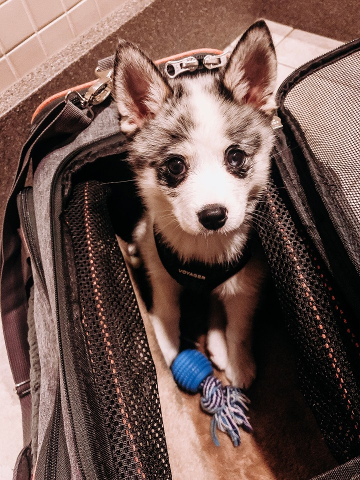 10 Tips To Travel With a Puppy | Style blogger Emerson Hannon of Classycleanchic shares 10 Tips To Travel With a Puppy