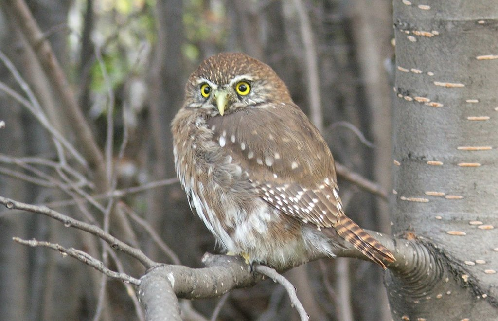 pygmy_owl