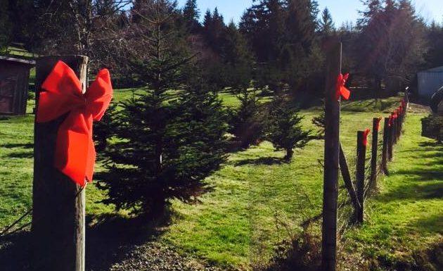 Garden Ridge Christmas Trees.Cut Down Your Christmas Tree At A Clatsop County Tree Farm