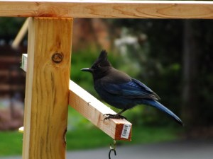 Birdwatching for Beginners steller jay