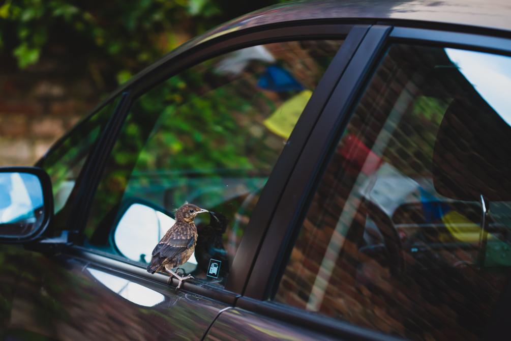 Amselküken am Autofenster