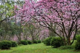 Parque-do-carmo-cerejeiras_06a