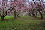 Parque-do-carmo-cerejeiras_12