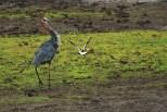 Uma ave do tipo quero-quero atazanando uma Goliath Heron