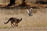 Jovem guepardo perseguindo um Tick-Knee. Levou alguns segundos pra reconhecer a derrota.