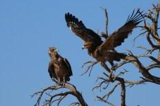 Jovem Bateleur e Tawny Eagle