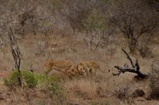 Três leoas celebrando o reencontro