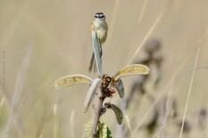 papa-moscas-do-campo