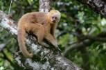 macaco-prego-galego_103