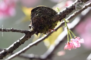 cerejeiras_09