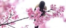 cerejeiras_12