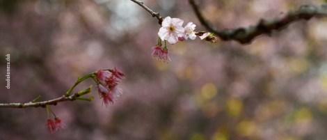 cerejeiras_14