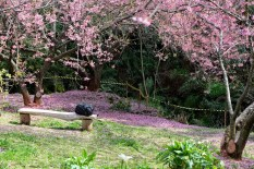 cerejeiras_16