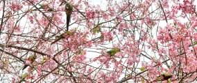 cerejeiras_18