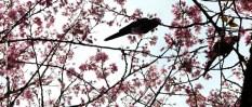 cerejeiras_19