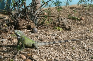Lizard Bonaire