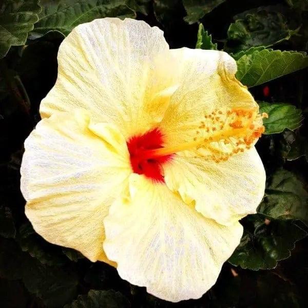 hibiscus flower in bloom on kauai