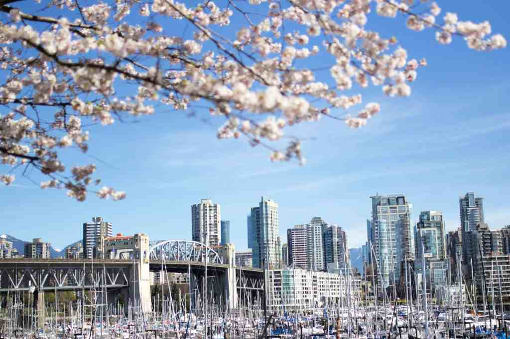 vancouver skyline with white cherry blossoms