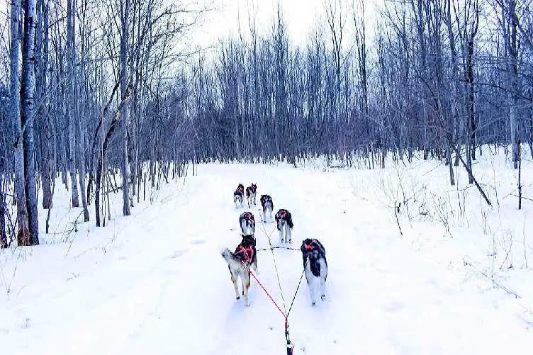 dog sledding in quebec in winter