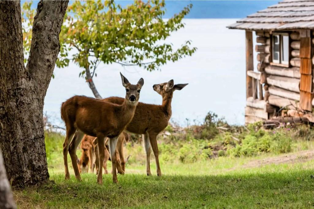 two deer grazing in grasslands