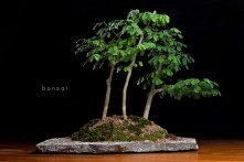 Bonsai (Jurema Branca ~10 years old)