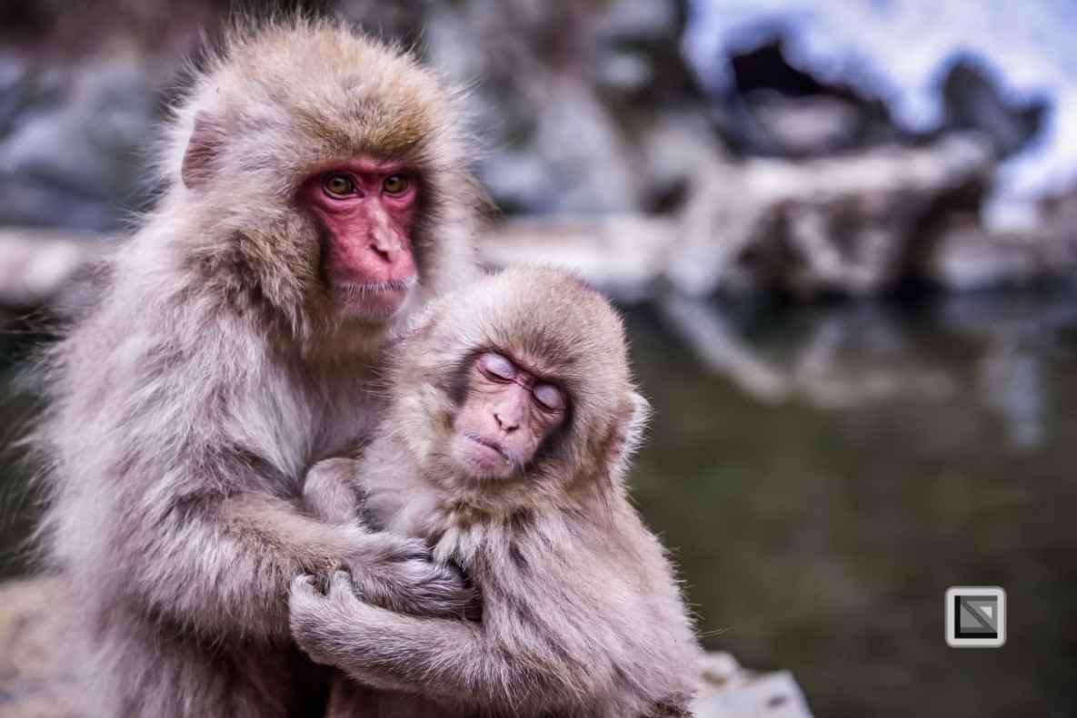 japan-jigokudani-snow_monkeys-137