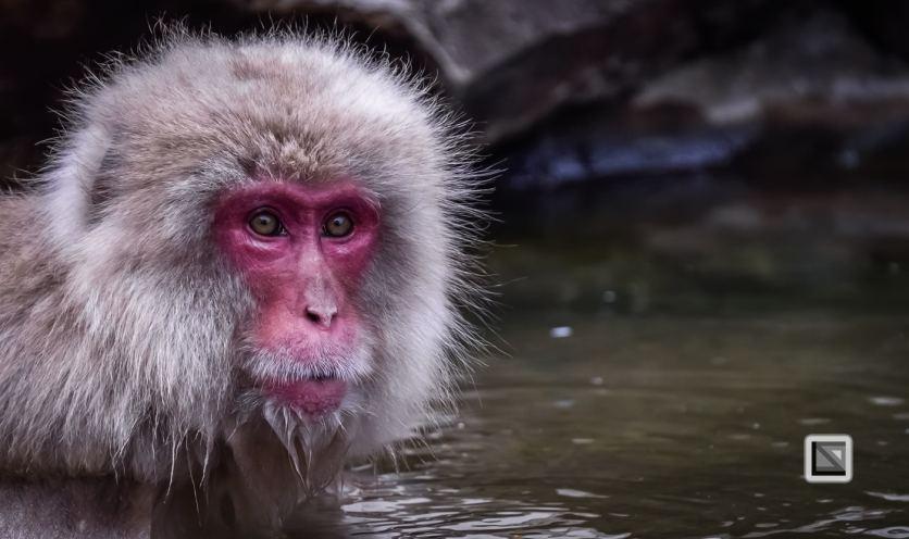 japan-jigokudani-snow_monkeys-71