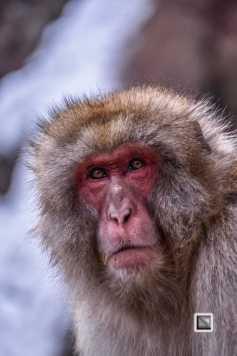 japan-jigokudani-snow_monkeys-79