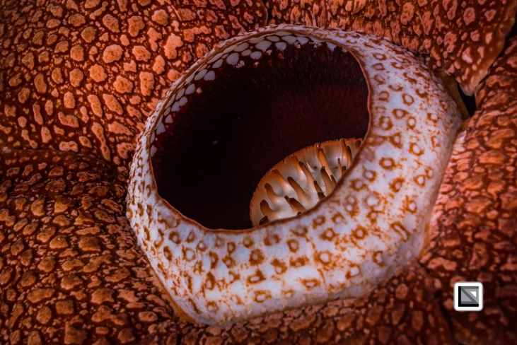 Malaysia-Borneo-Sabah-Rafflesia-32