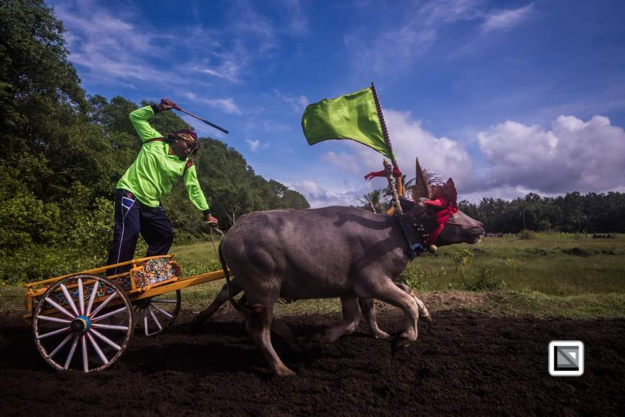 Makepung – Traditional bull race in Bali, Indonesia