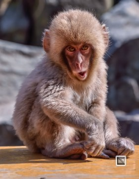 japan-jigokudani-snow_monkeys-16