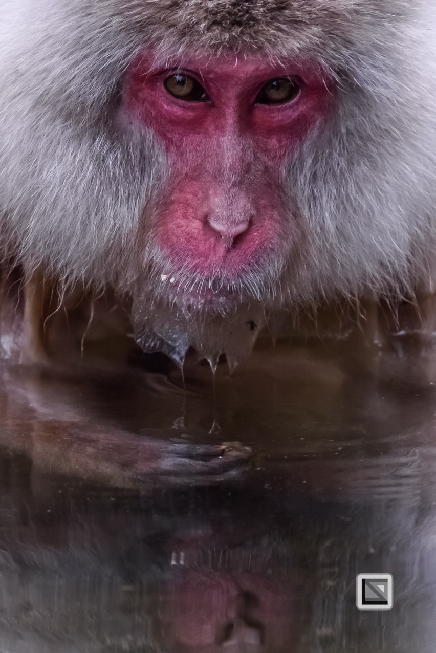 japan-jigokudani-snow_monkeys-58