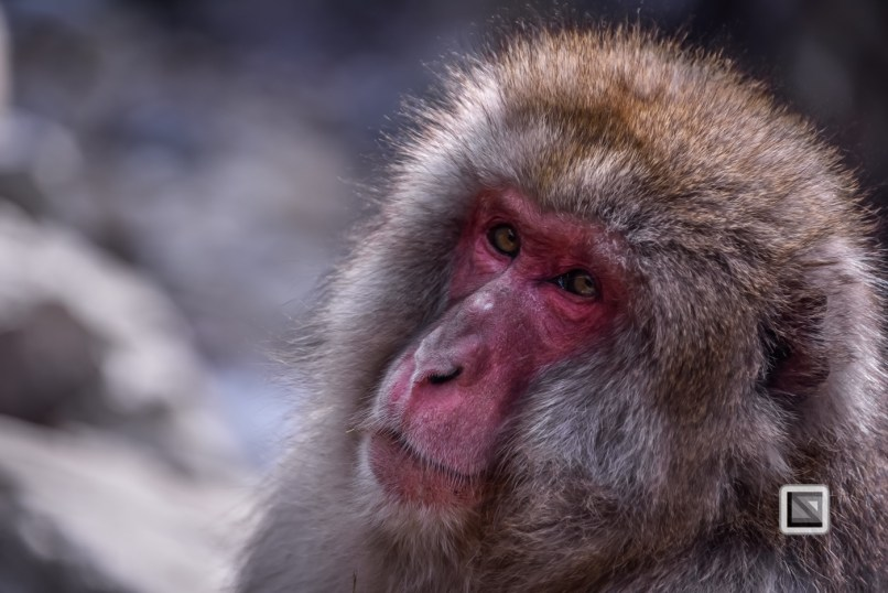 japan-jigokudani-snow_monkeys-74