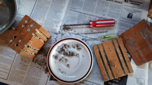 Uncleaned mason bee cocoons...