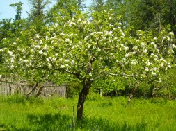 Apple blossom in the orchard.