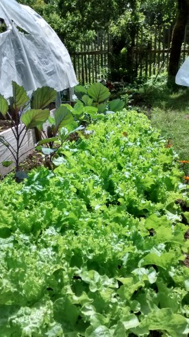 Lettuce and red cabbage plants...