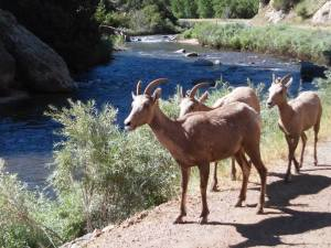 Waterton Canyon bighorn sheep. Photo courtesy Lissa A. Forbes.