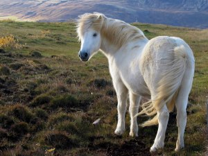 An icelandic pony. In Iceland.