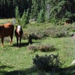 Cows: A primer for hikers