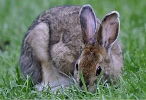 Appalachian Trail snowshoe hare