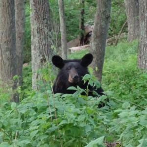 Appalachian Trail Taylor Judice bear