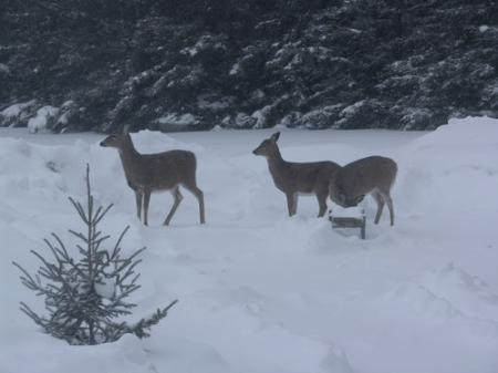 Nipawin deer