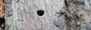 sign of emerald ash borer