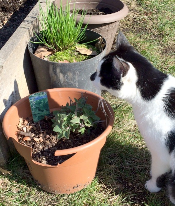 Oscar Catnip and Chives