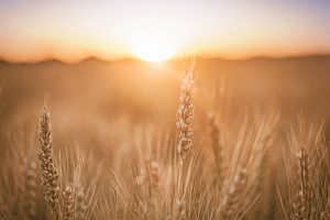 Wheat Prices Down 11 Cents For Trading Week