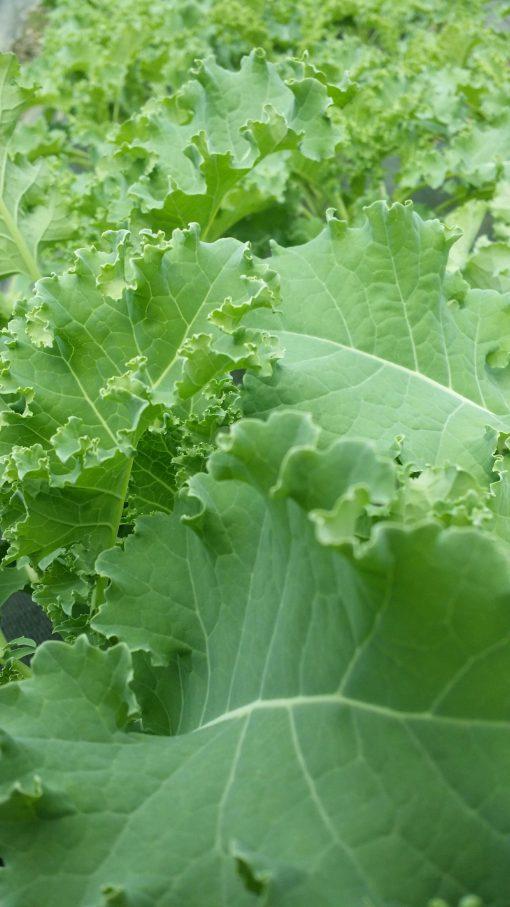 Clean Genes Farm Green Curly Kale