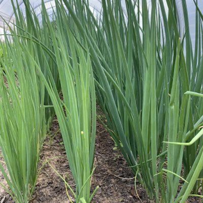 Clean Genes Farm Bunching Onions